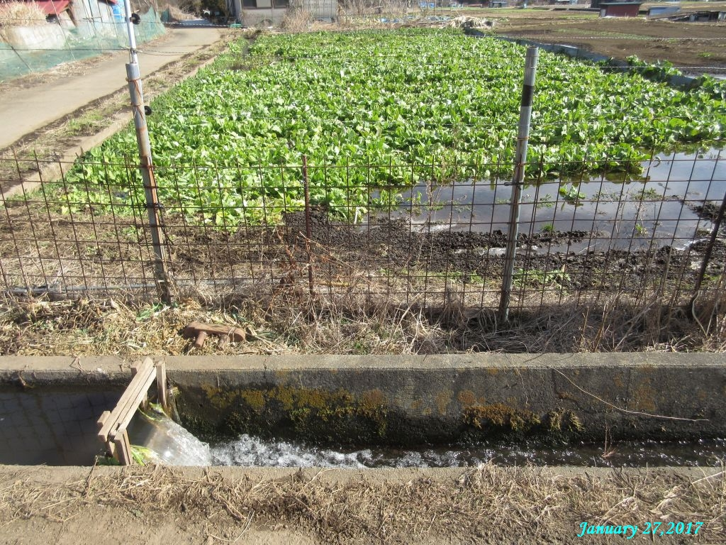 画像3(水掛菜の畑と湧き水の洗い場)
