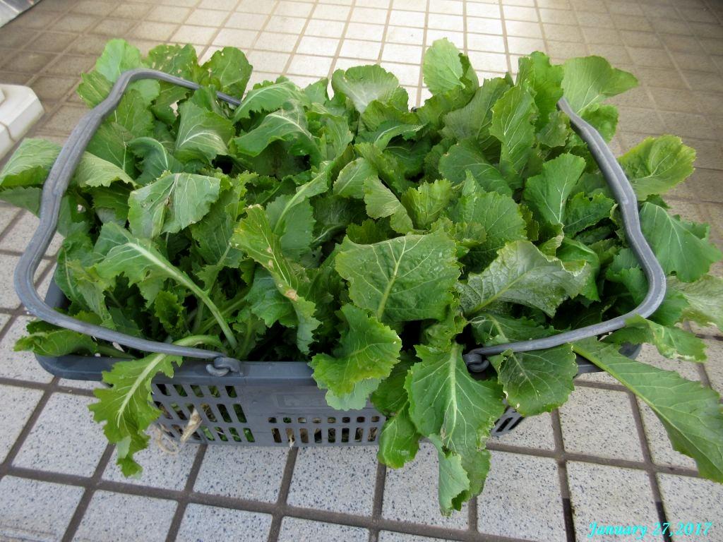 画像6(収穫した水掛菜)