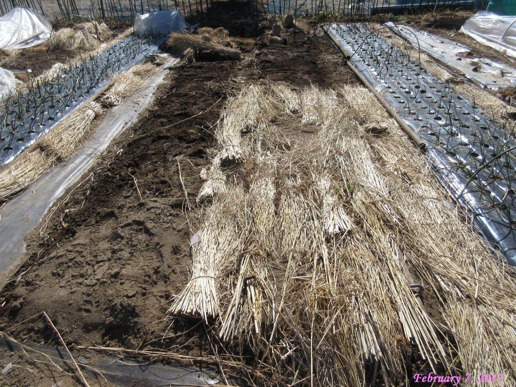 画像7(白菜の畝)