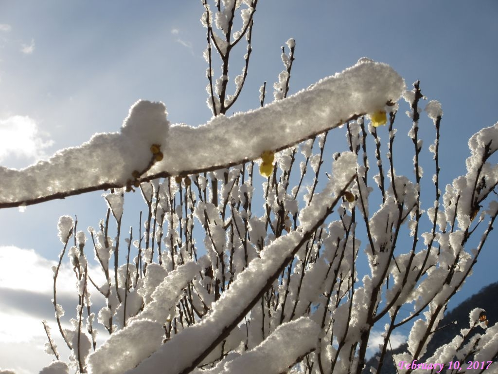 画像4(ロウバイの枝に積もった雪)