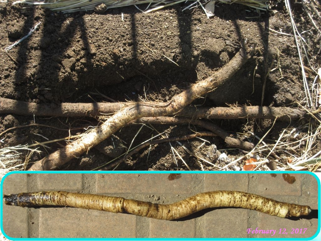 画像6(地中保存のゴボウ)