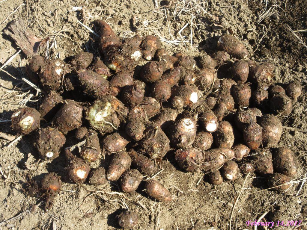 画像4(里芋の掘り出し)