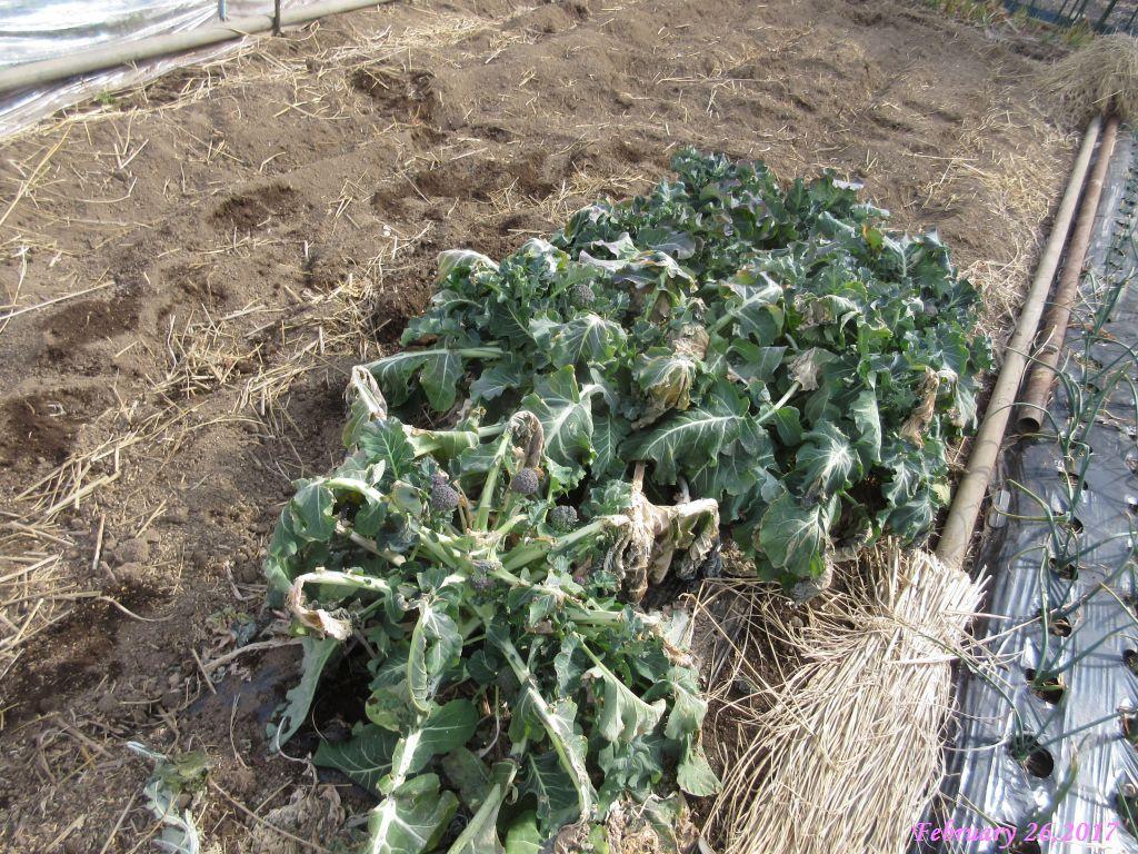 画像3(畑のブロッコリー)