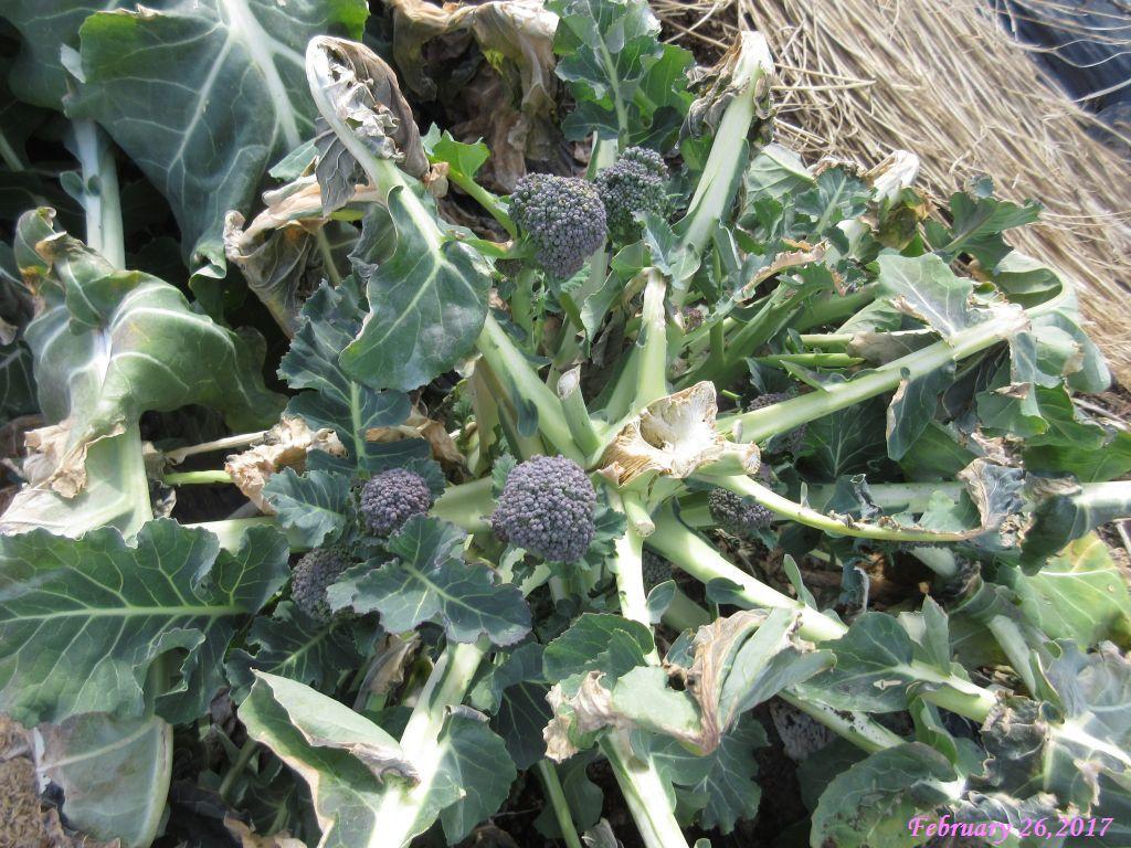画像4(ブロッコリーの側花蕾)