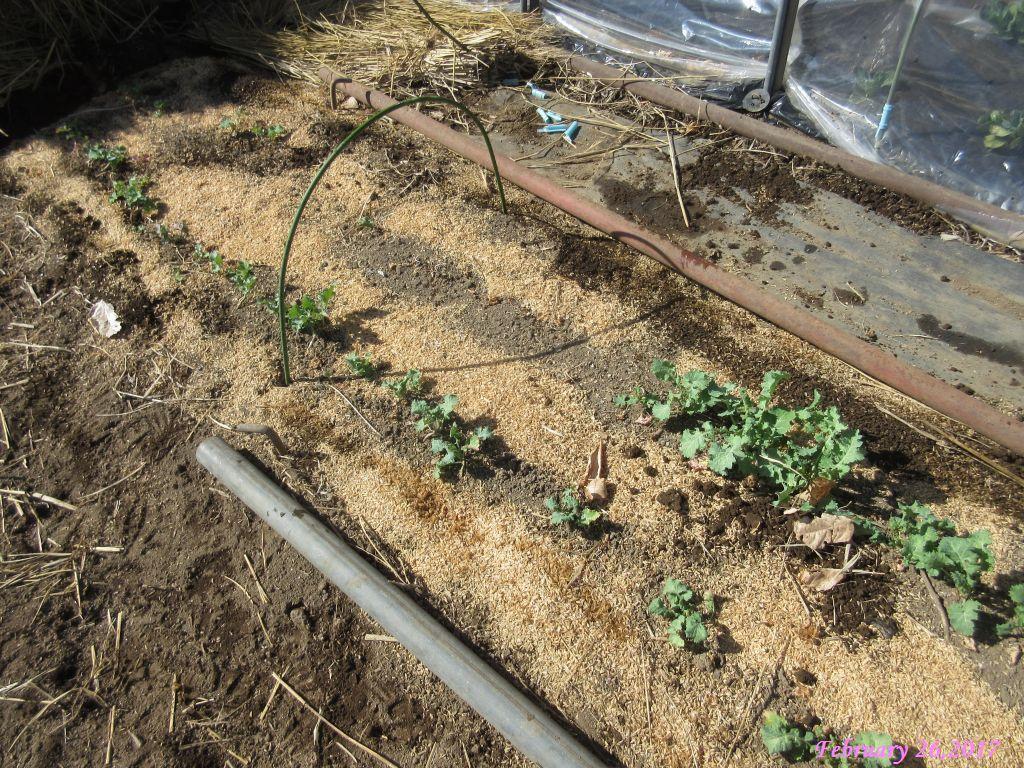 画像7(冬菜の畝)