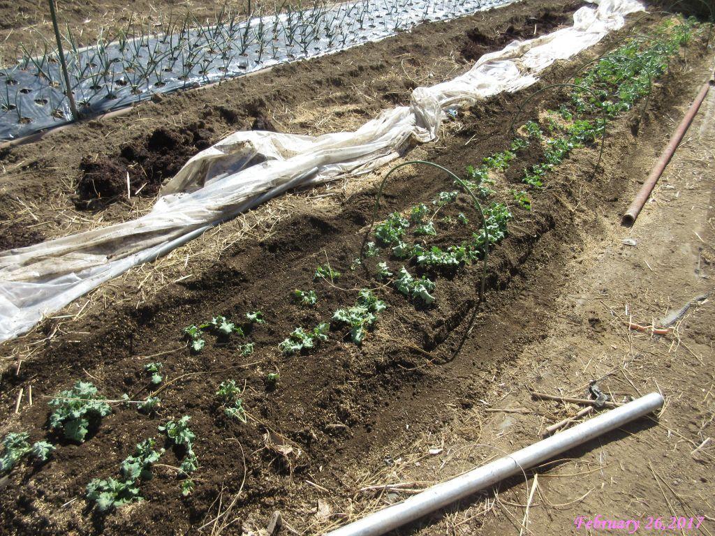 画像9(移植後の冬菜の畝)
