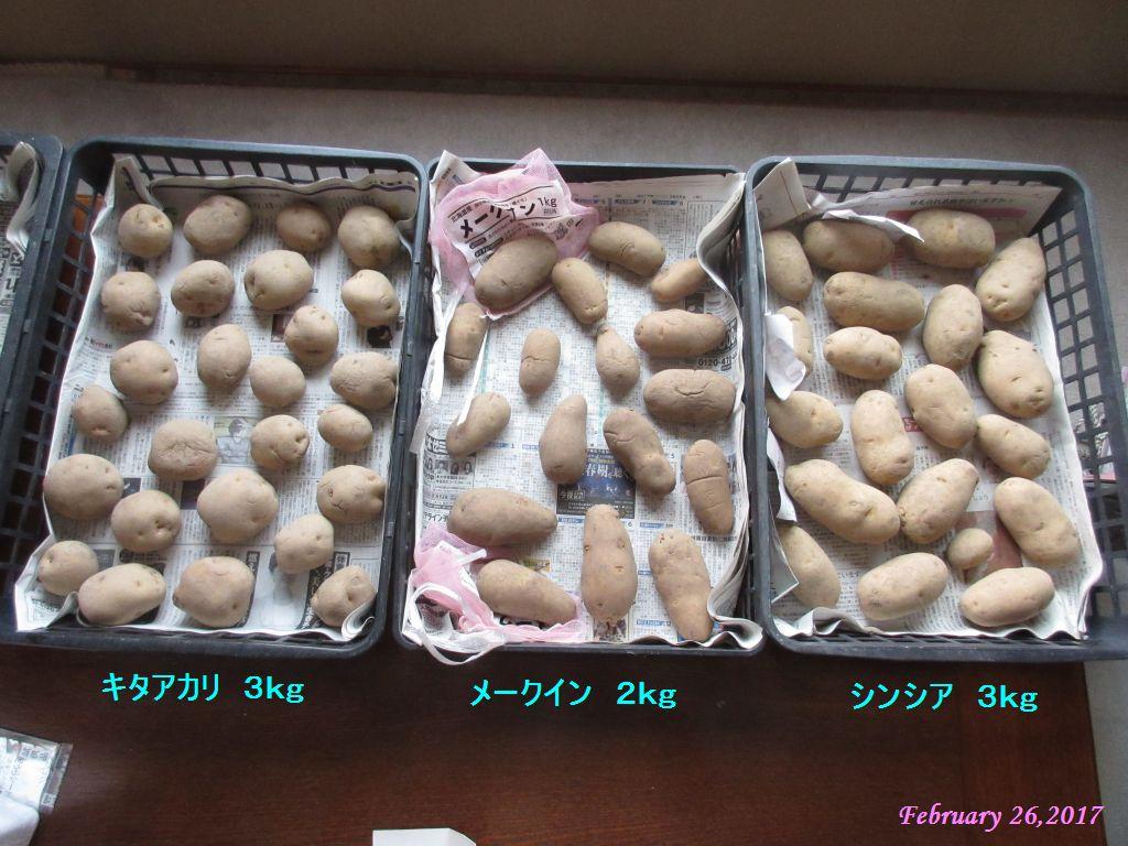 画像12(ジャガイモの浴光催芽)