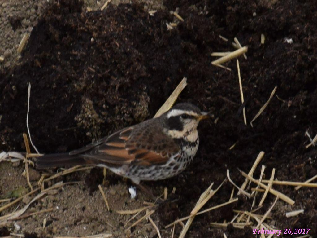 画像15(野鳥「ツグミ」)