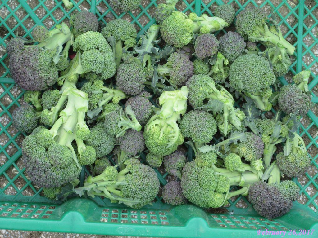 画像6(収穫したブロッコリーの側花蕾)