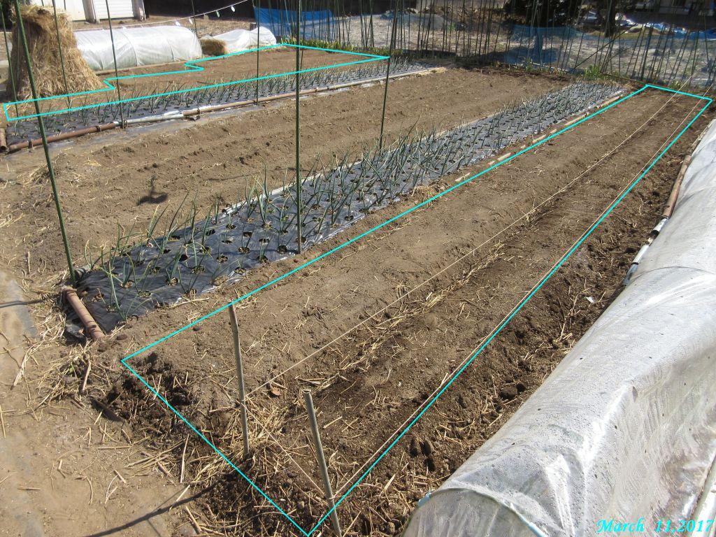 画像1(ジャガイモの畝)