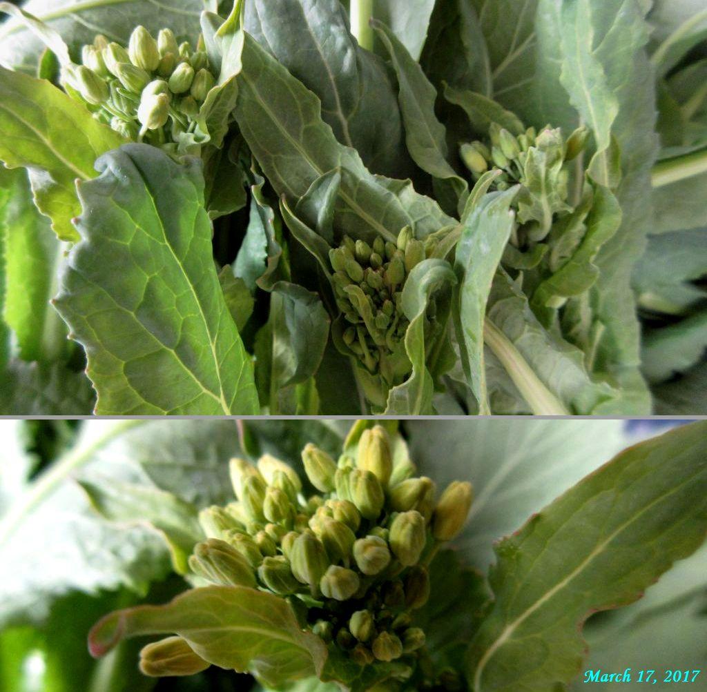 画像12(菜の花)