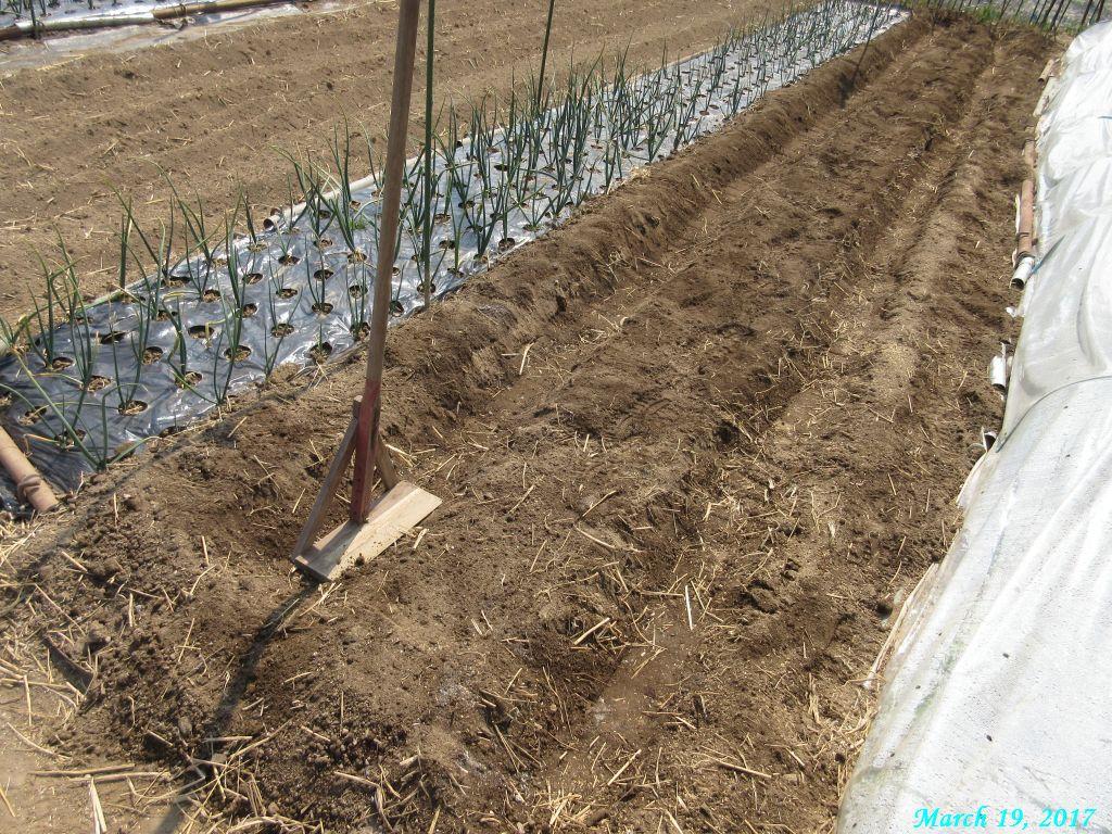 画像6(ジャガイモの溝施肥土をかける)