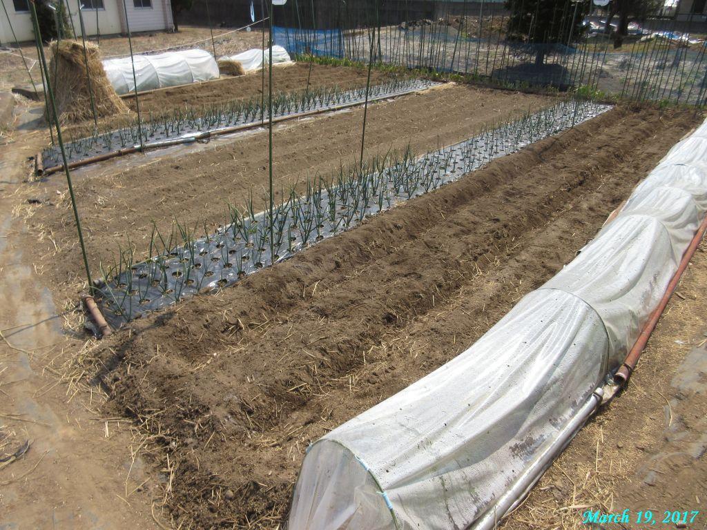 画像8(ジャガイモの溝施肥完了)