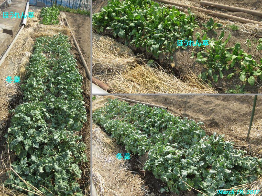 画像11(トンネルを外した冬菜とほうれん草)