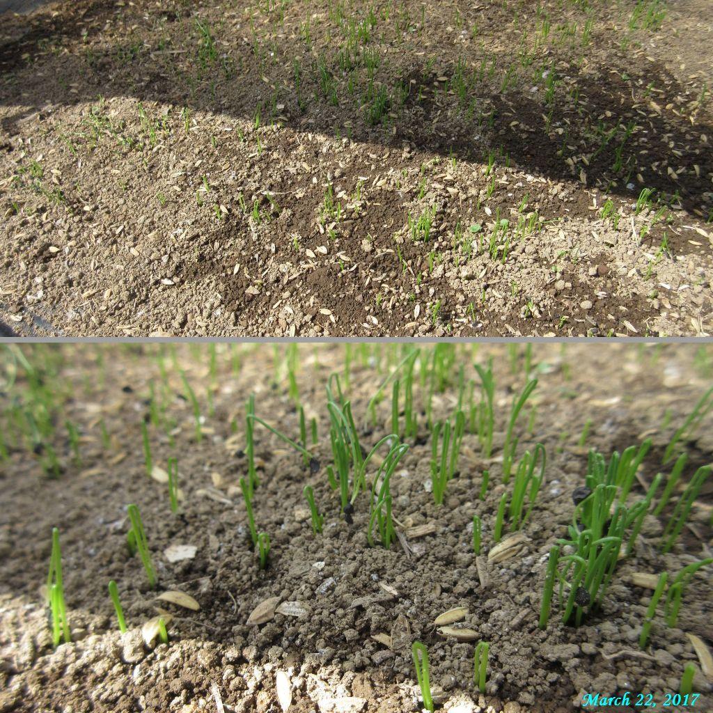画像5(ネギの発芽)