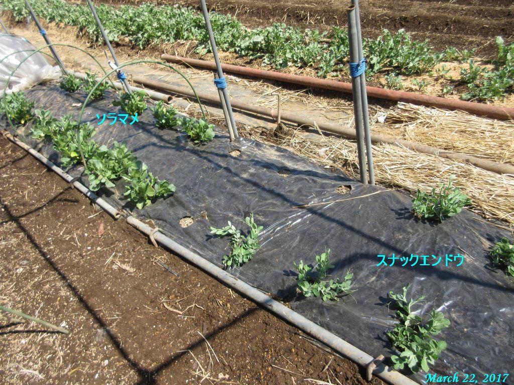 画像6(そら豆とスナックエンドウの畝)