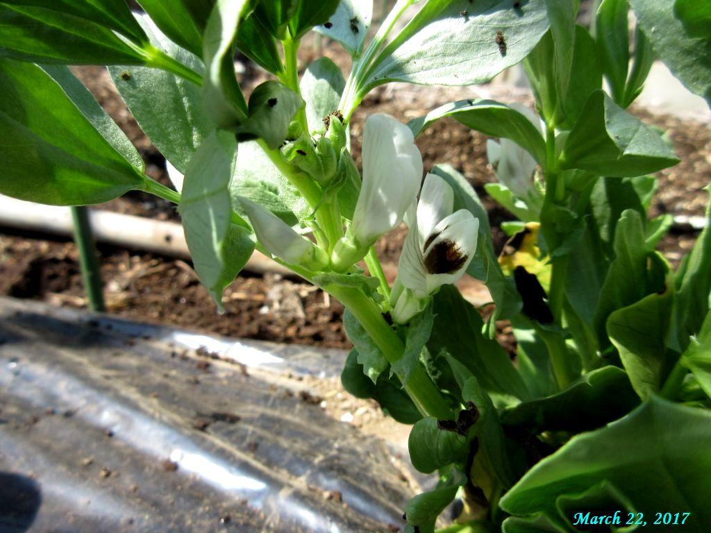 画像7(そら豆の花)