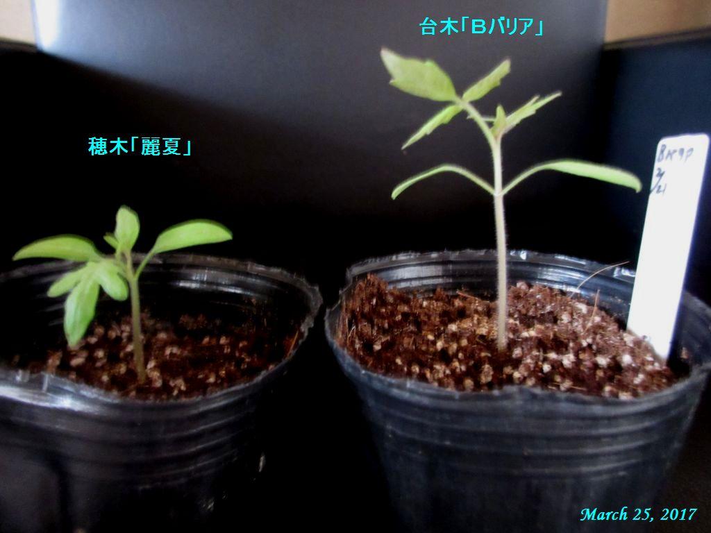 画像5(穂木と台木)