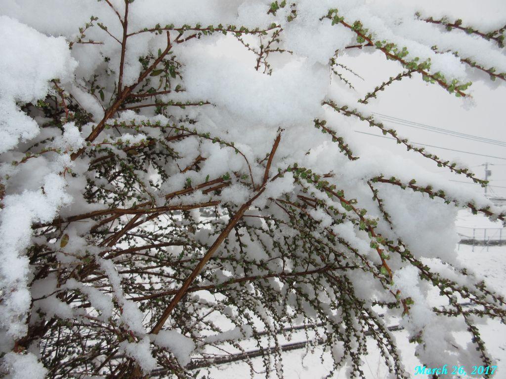 画像2(ユキヤナギの雪)