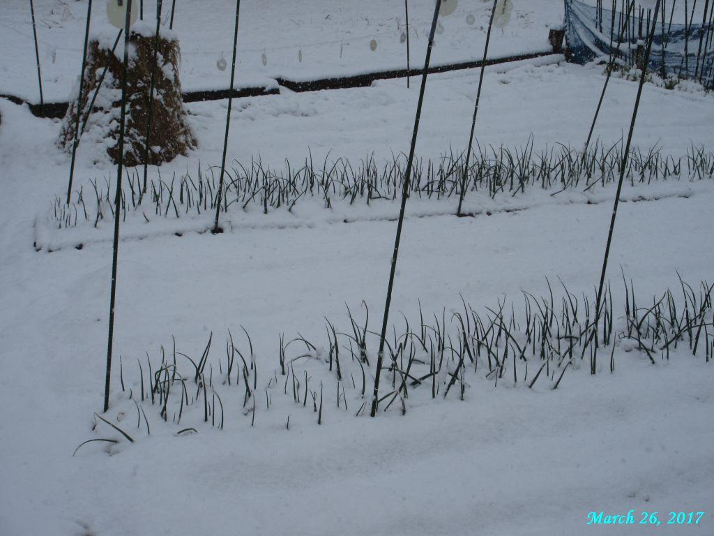 画像5(玉ねぎの雪)