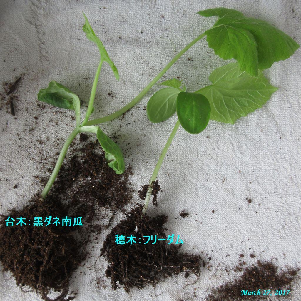 画像3(キュウリの台木と穂木苗)