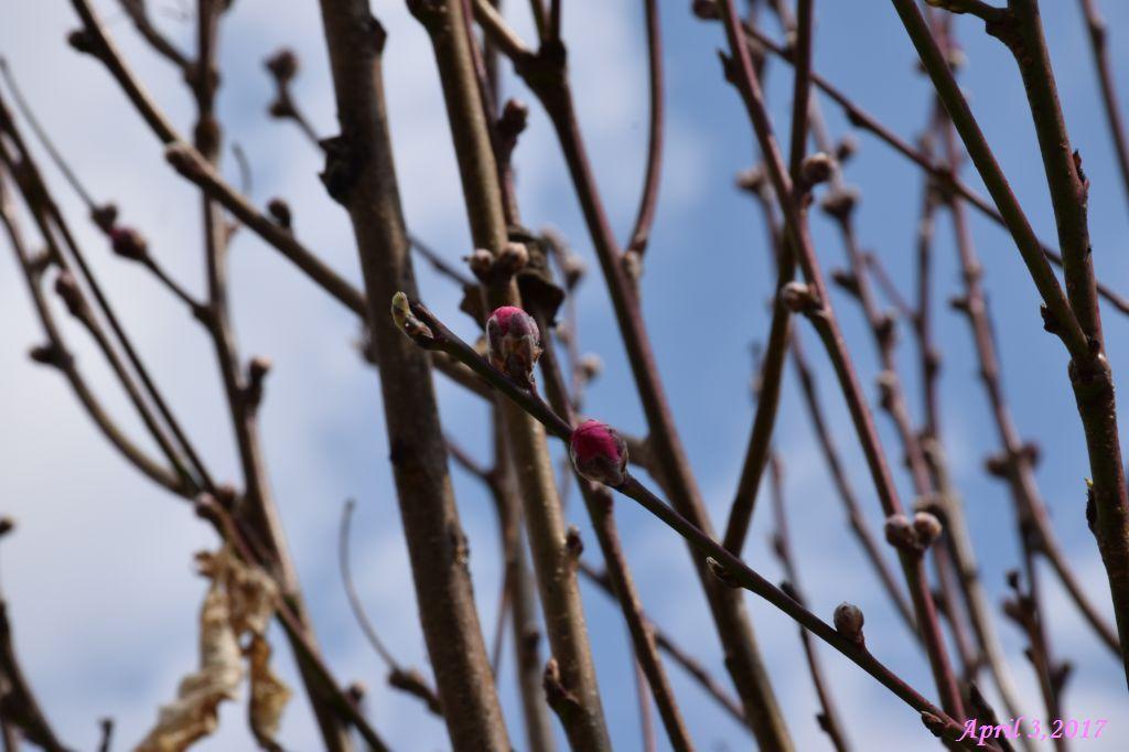 画像1(花桃のツボミ)
