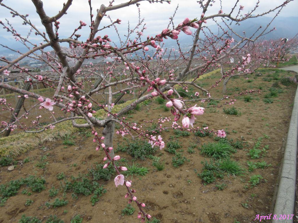 画像8(中央道釈迦堂SA付近の桃の花)