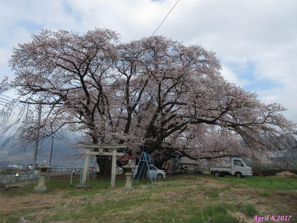 画像10(中央道釈迦堂SA付近の桜)