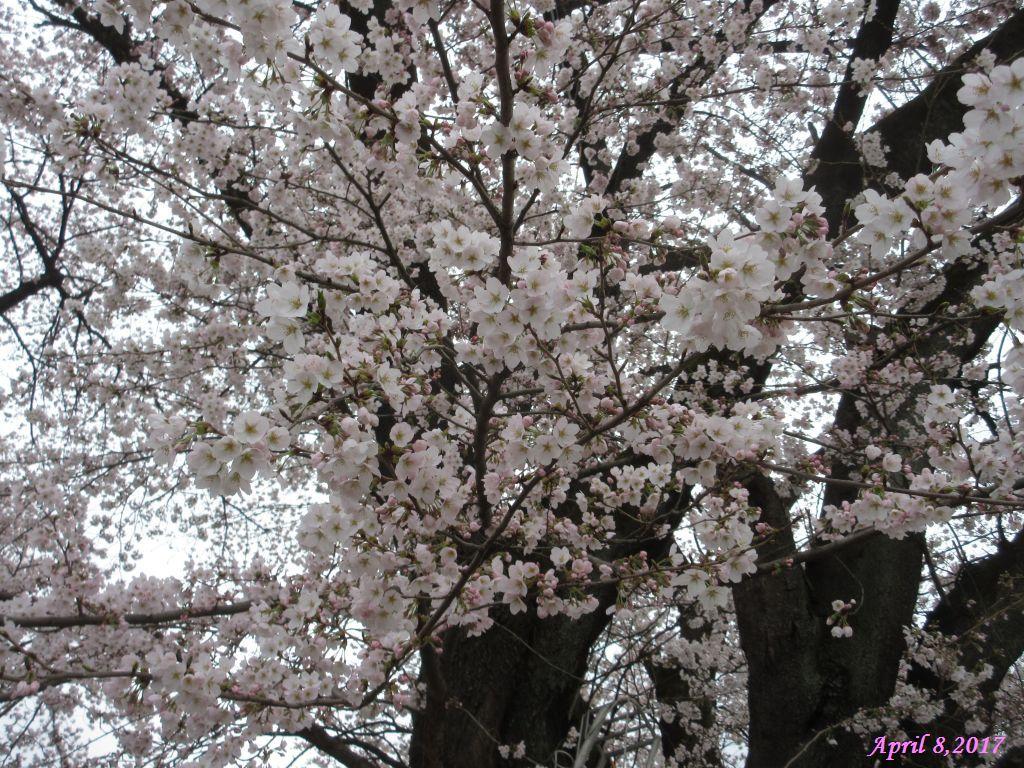 画像11(中央道釈迦堂SA付近の桜)
