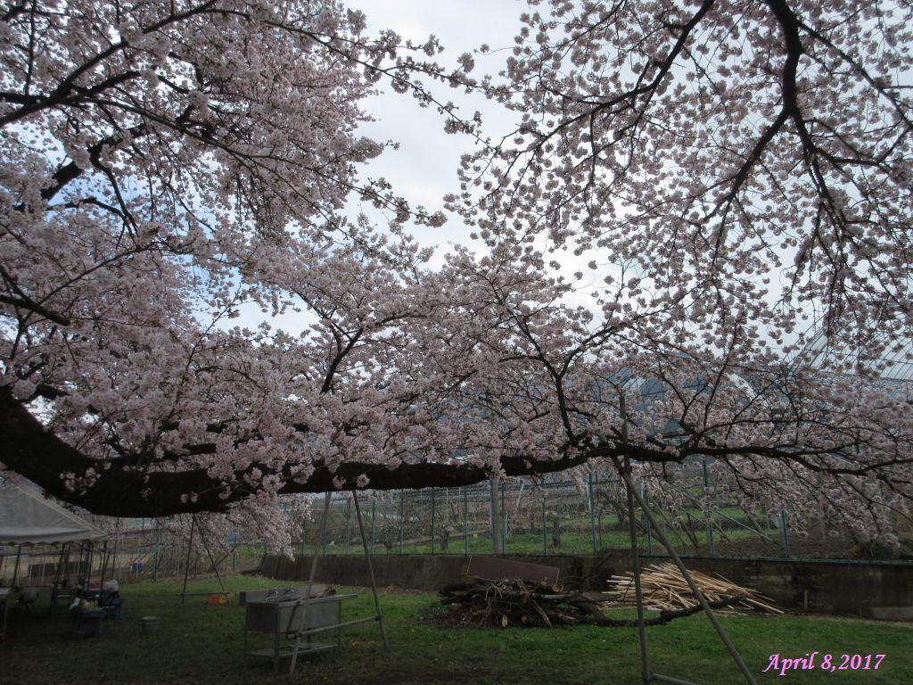 画像13(中央道釈迦堂SA付近の桜)