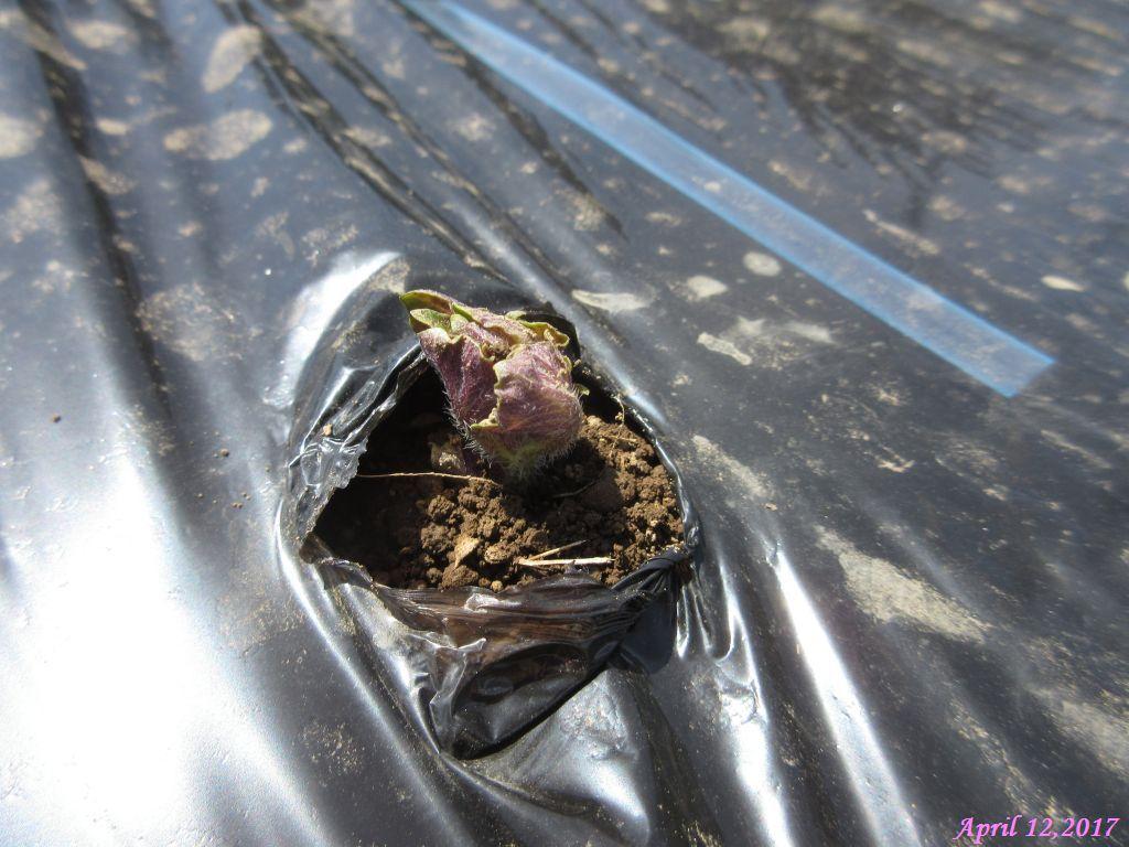 画像9(ジャガイモの芽)