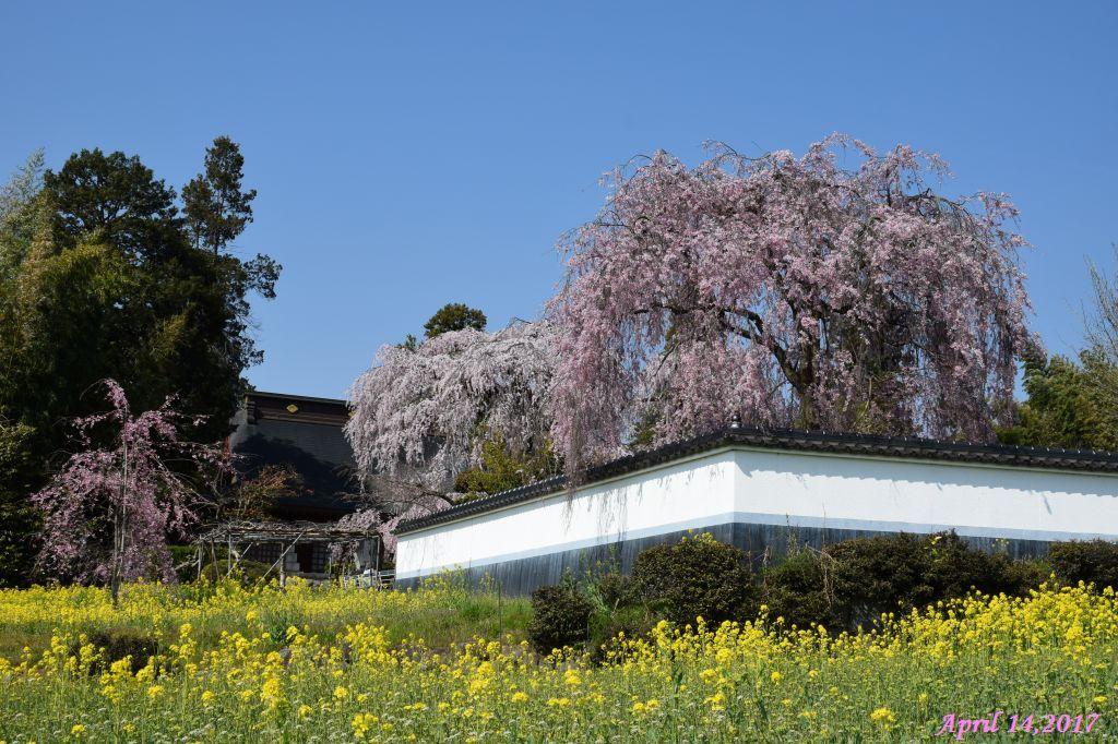 像9(慈雲寺のイトザクラと菜の花)