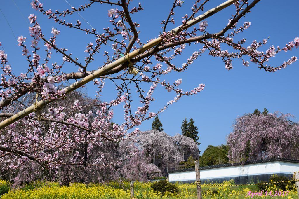 画像10(桃と菜の花とイトザクラ)