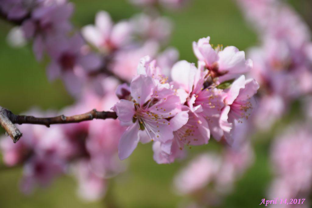 画像12(桃の花・アップ)
