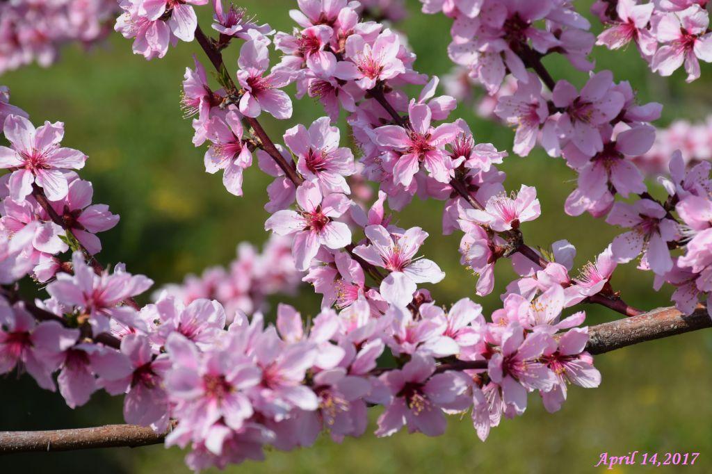 画像13(桃の花)