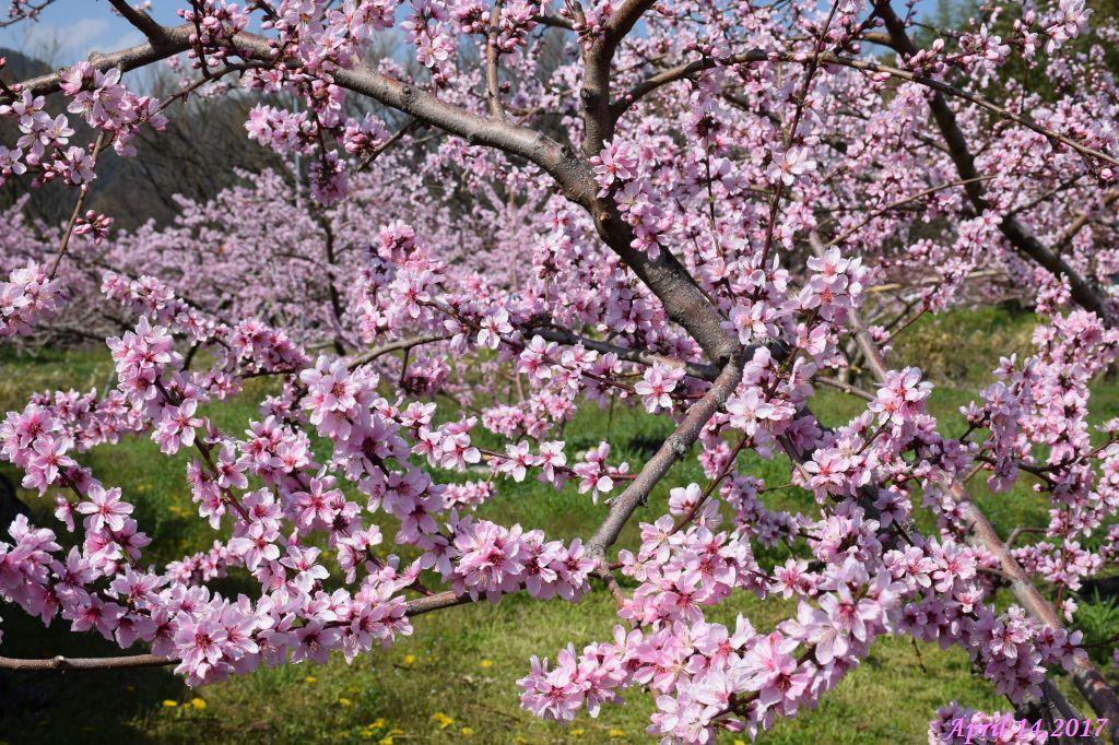 画像14(桃の花)