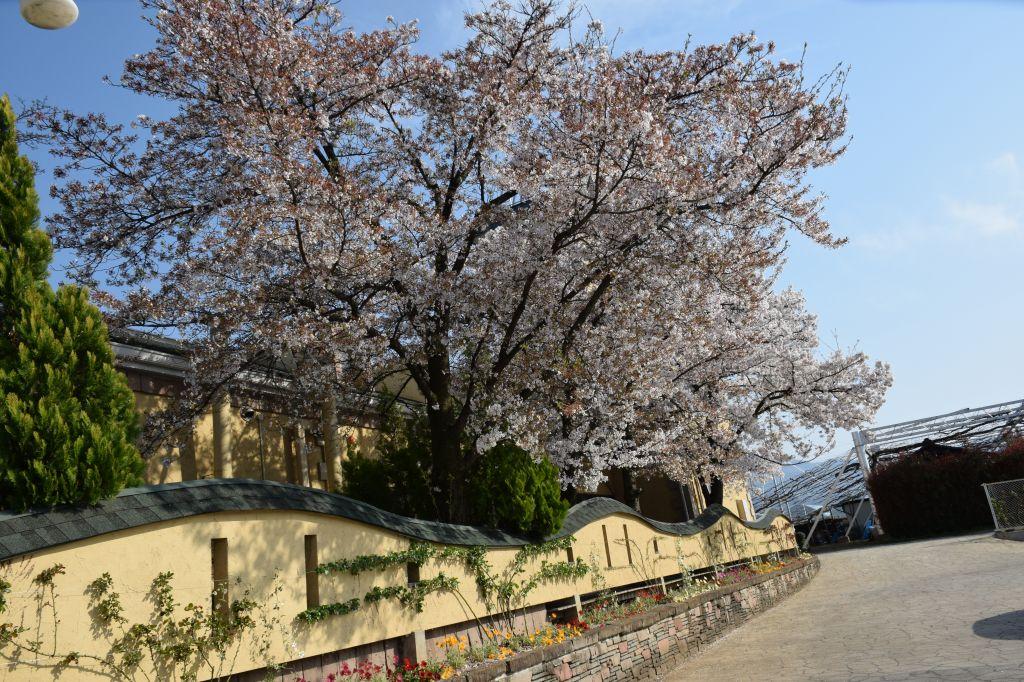 画像16(ハーブ庭園「旅日記」の桜)