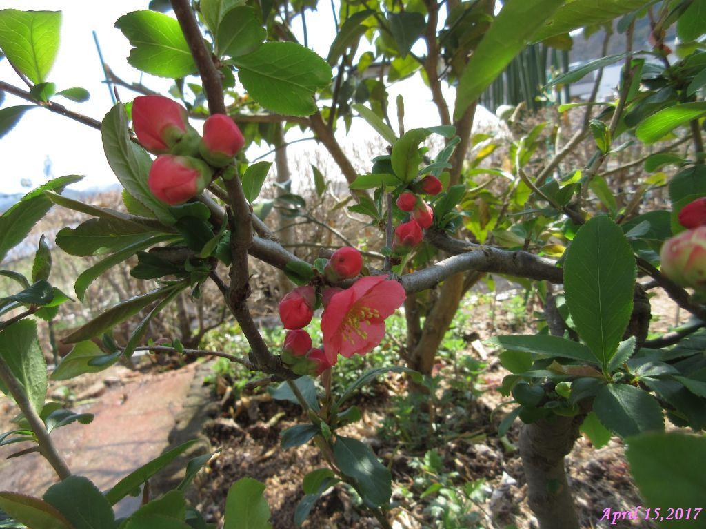 画像1(木瓜の花)