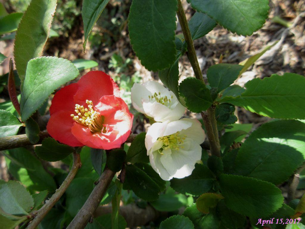 画像2(木瓜の花)