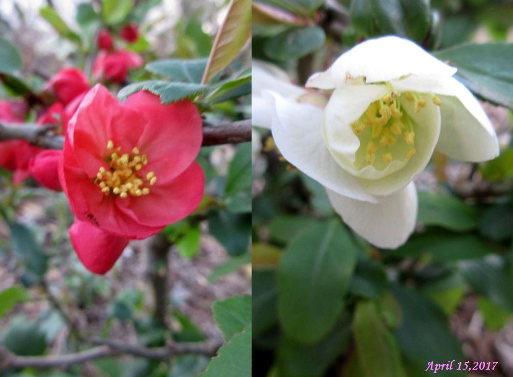 画像3(木瓜の花)