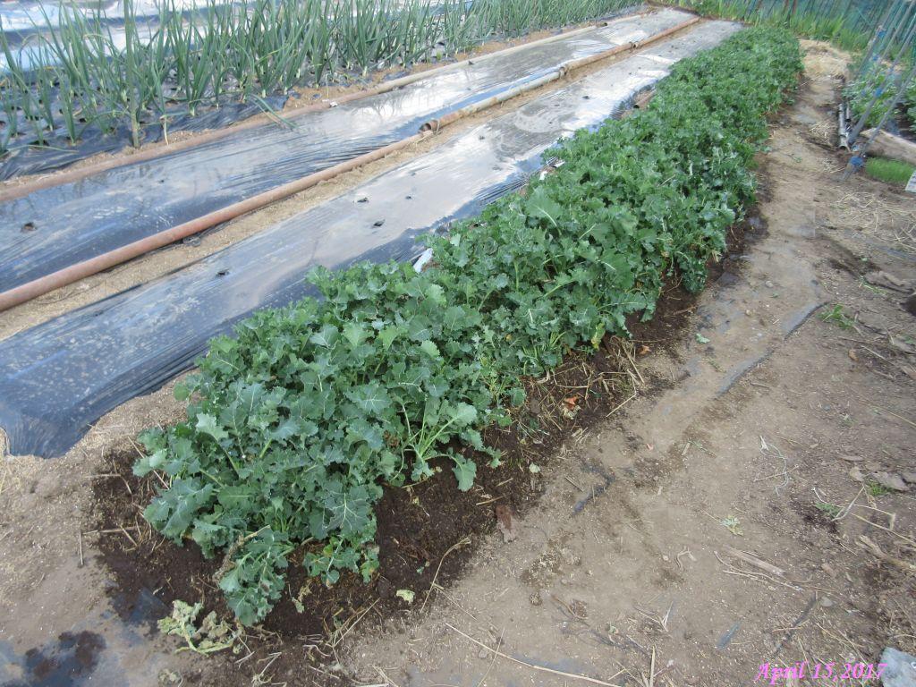 画像24(冬菜の移植)