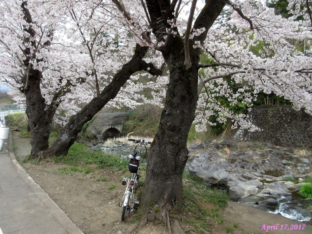 画像10(鹿留川・古渡地区の桜)