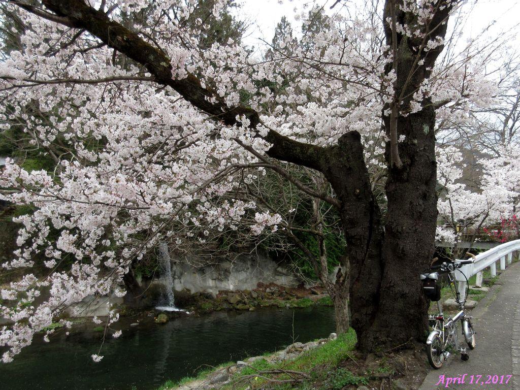 画像11(鹿留川・古渡地区の桜)