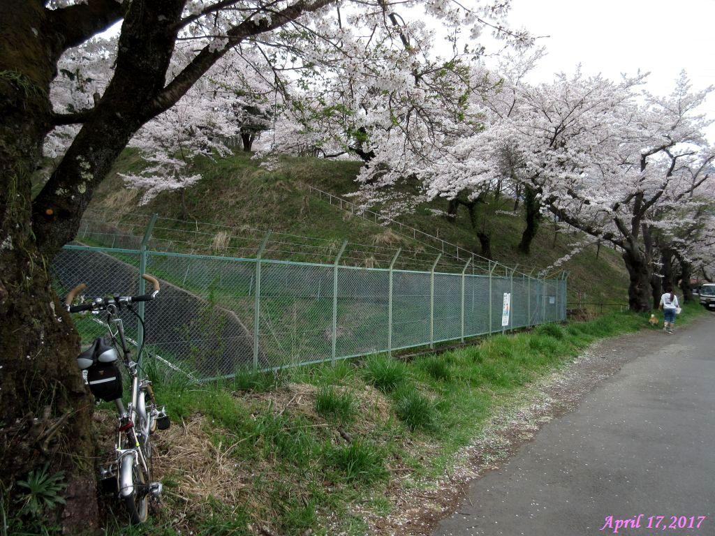 画像18(鹿留発電所付近の桜)