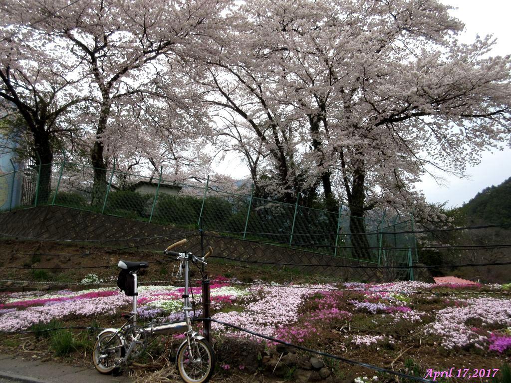 画像22(東桂地区貯水タンク付近の桜)