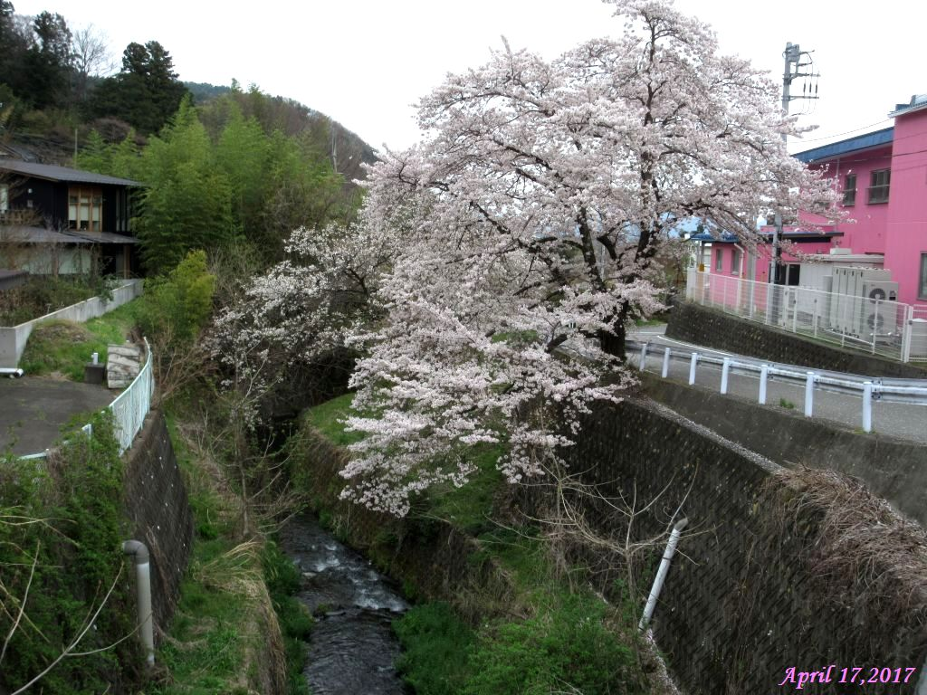 画像23(西桂区の桜)