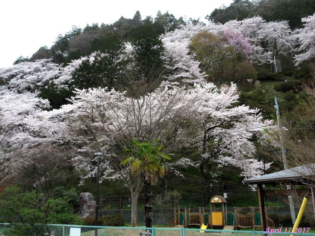 画像24(西桂区の桜)