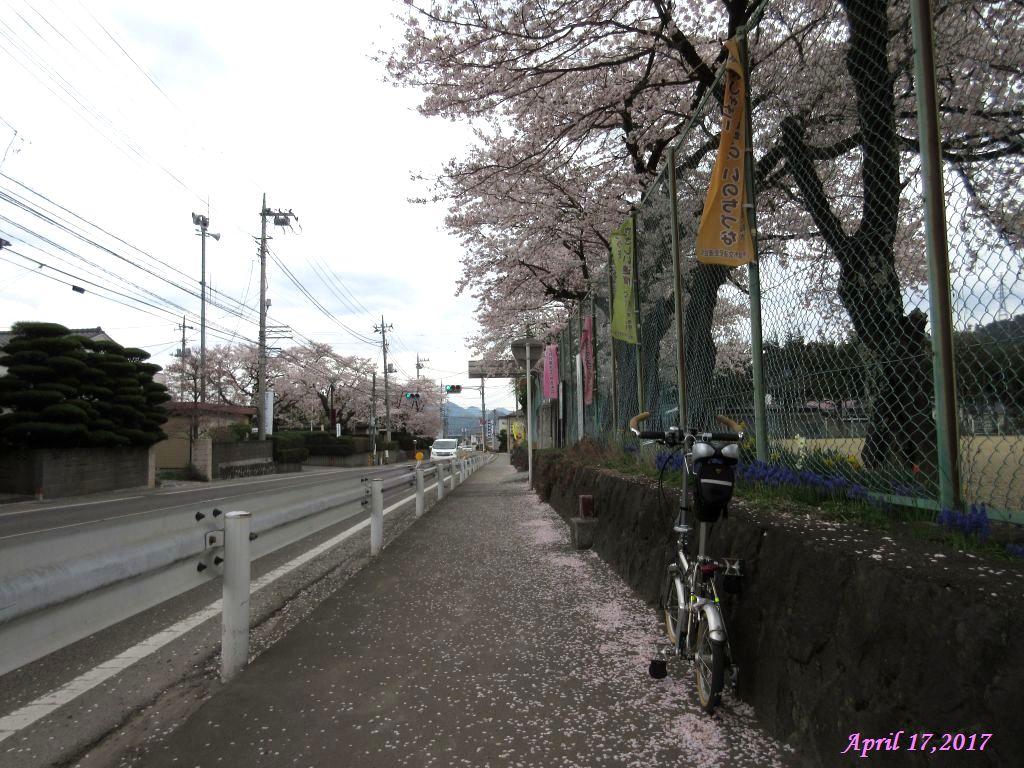 画像27(小学校の桜)