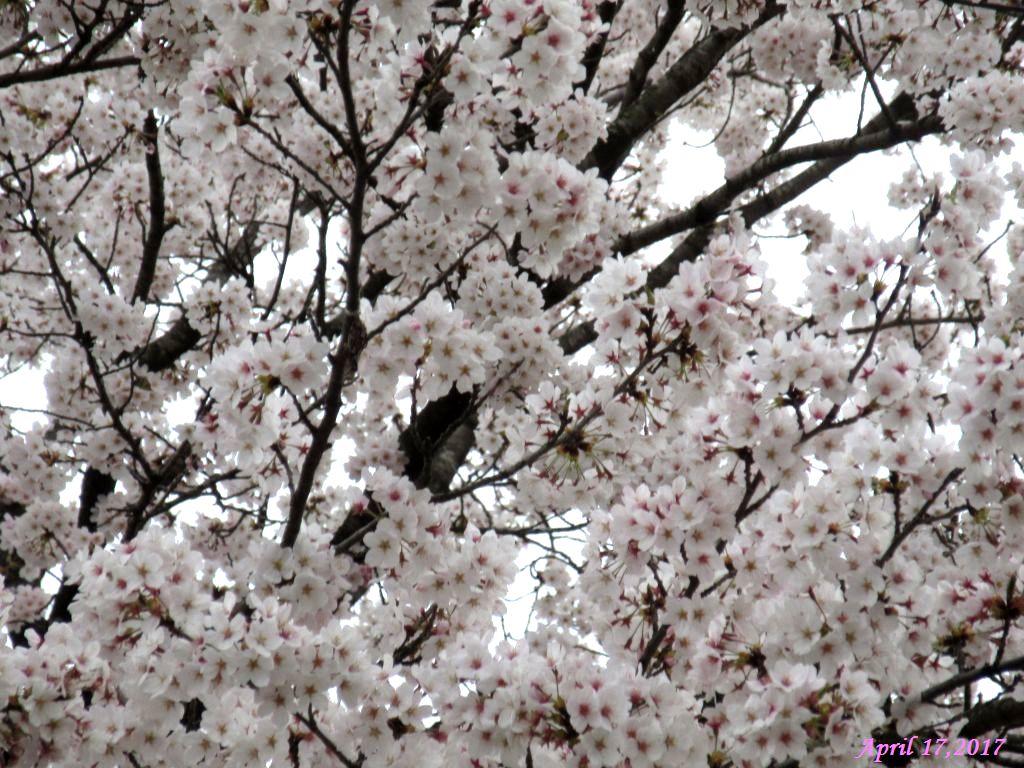 画像28(小学校の桜)