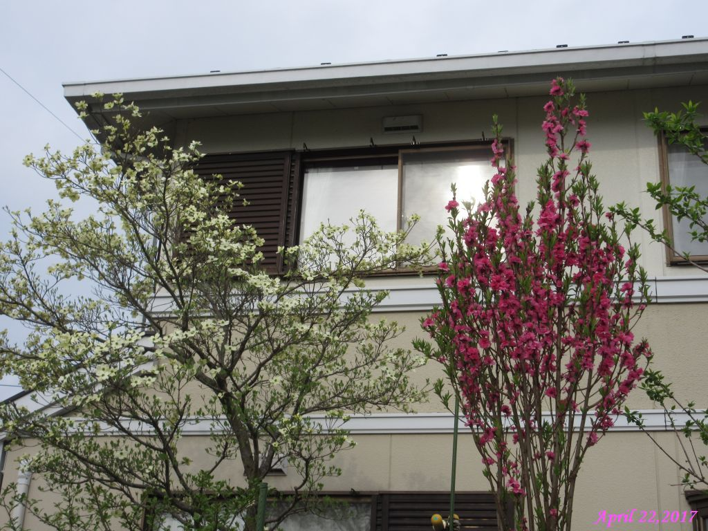画像4(ハナミズキと花桃)